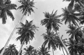 Black Palms Mentawai Islands zz83708