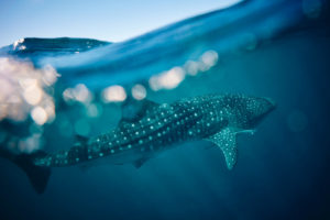 Whale Sharks, Ningaloo Reef, WA - May 8