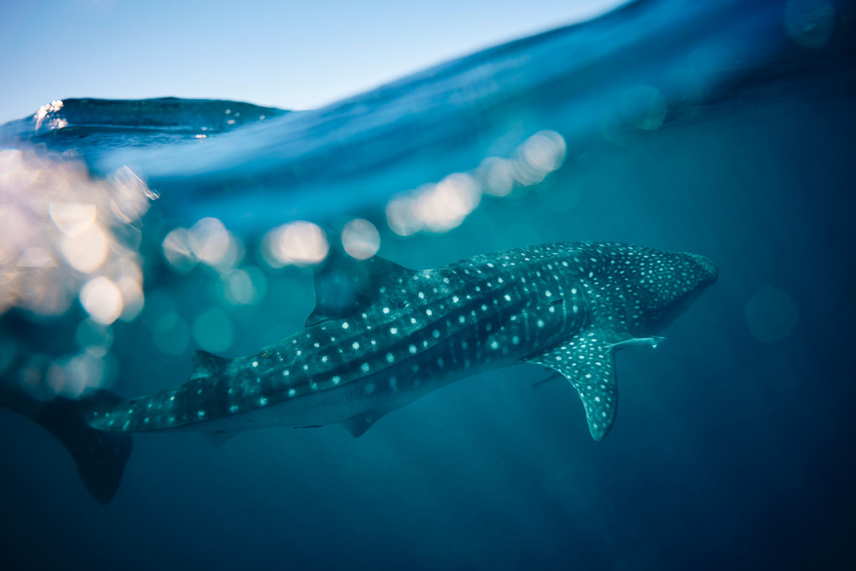 Giant spotted fish - the incredible Whale Sharks of Ningaloo