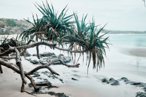 Pandanus trees Byron Bay
