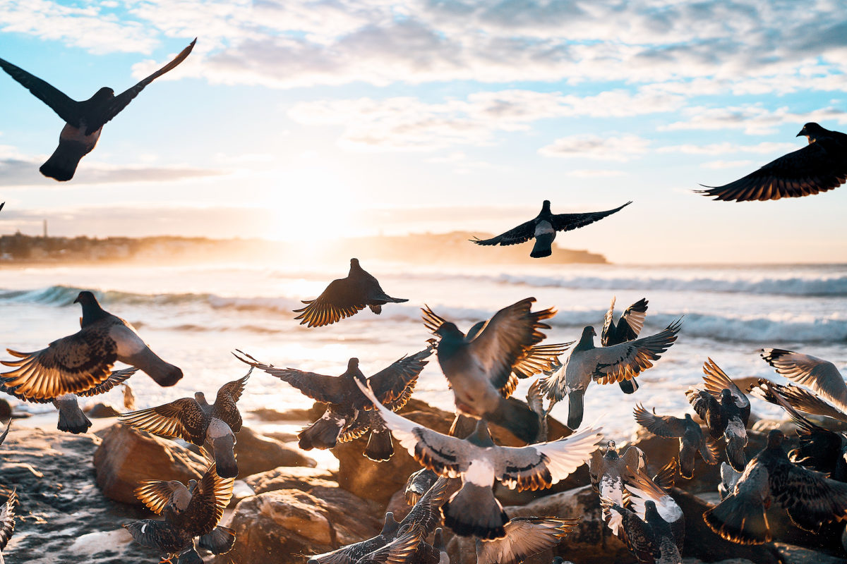 The Annual Pigeon Sunrise Conference at South Bondi this morning